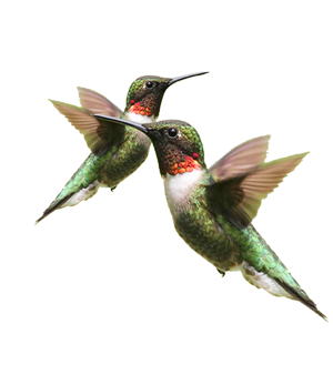 Wall paper Hummingbirds
